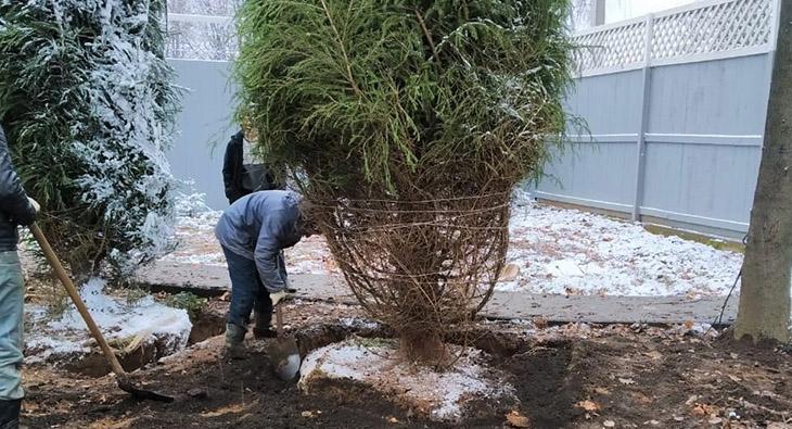 Пересадка больших деревьев: как сделать правильно